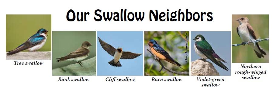 southwest new mexico audubon our swallow neighbors